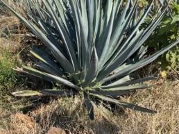 santanera-agave-lote-piedra
