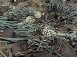 tequila-organico-santanera
